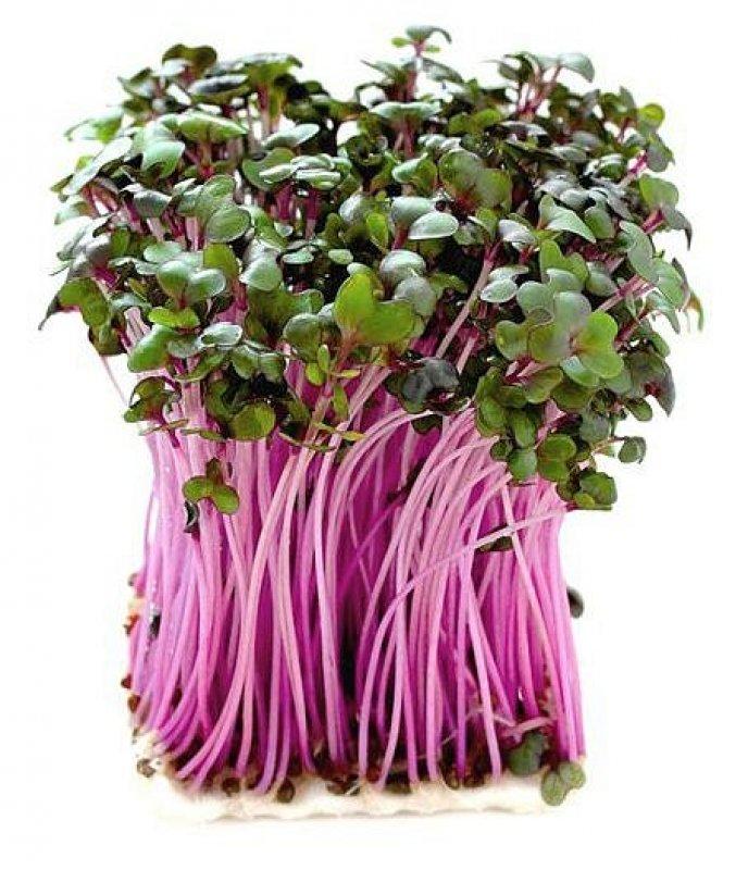 ČERVENÉ ZELÍ - semínka na klíčení 10g