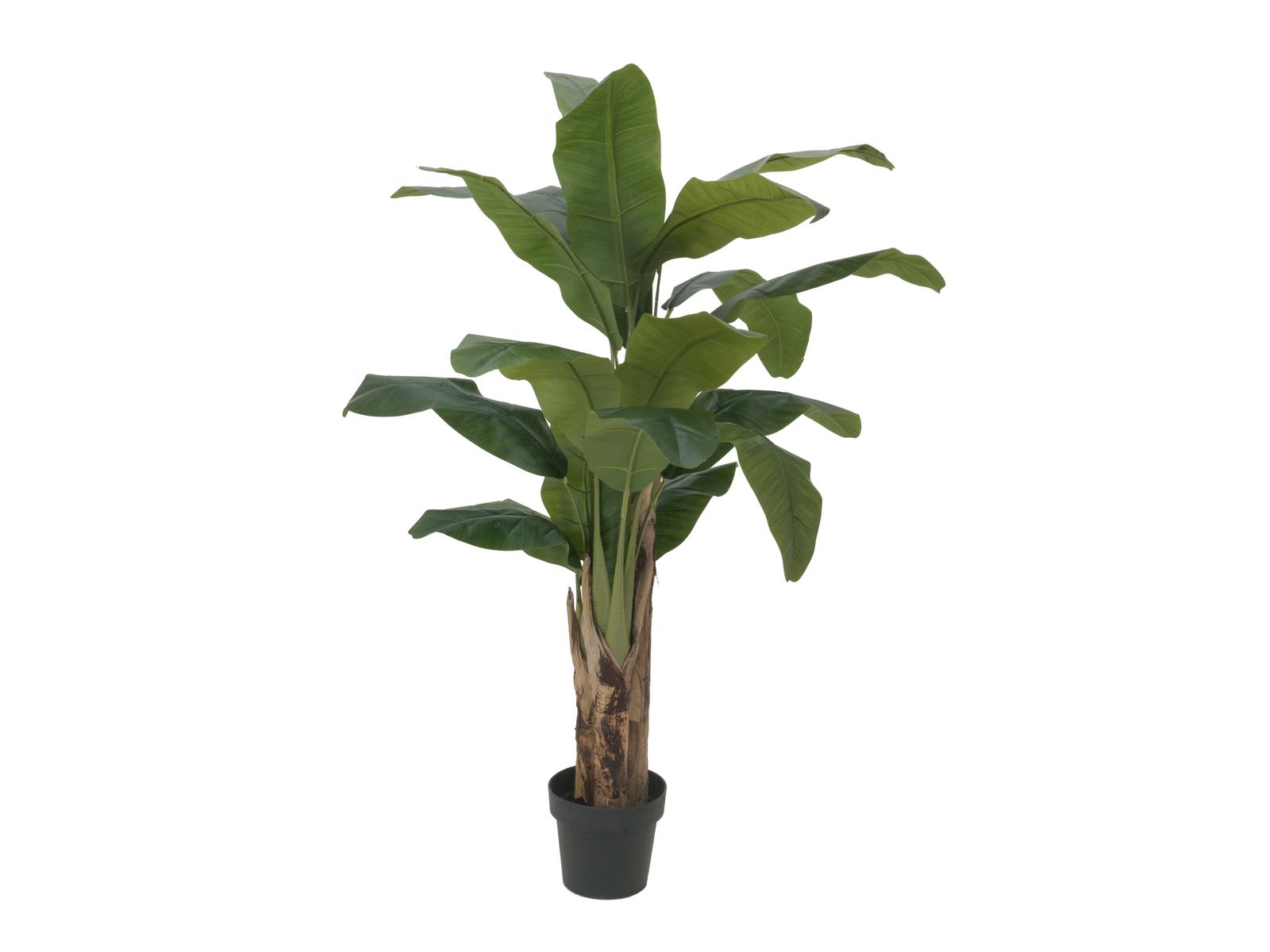 Banánovník, 120 cm