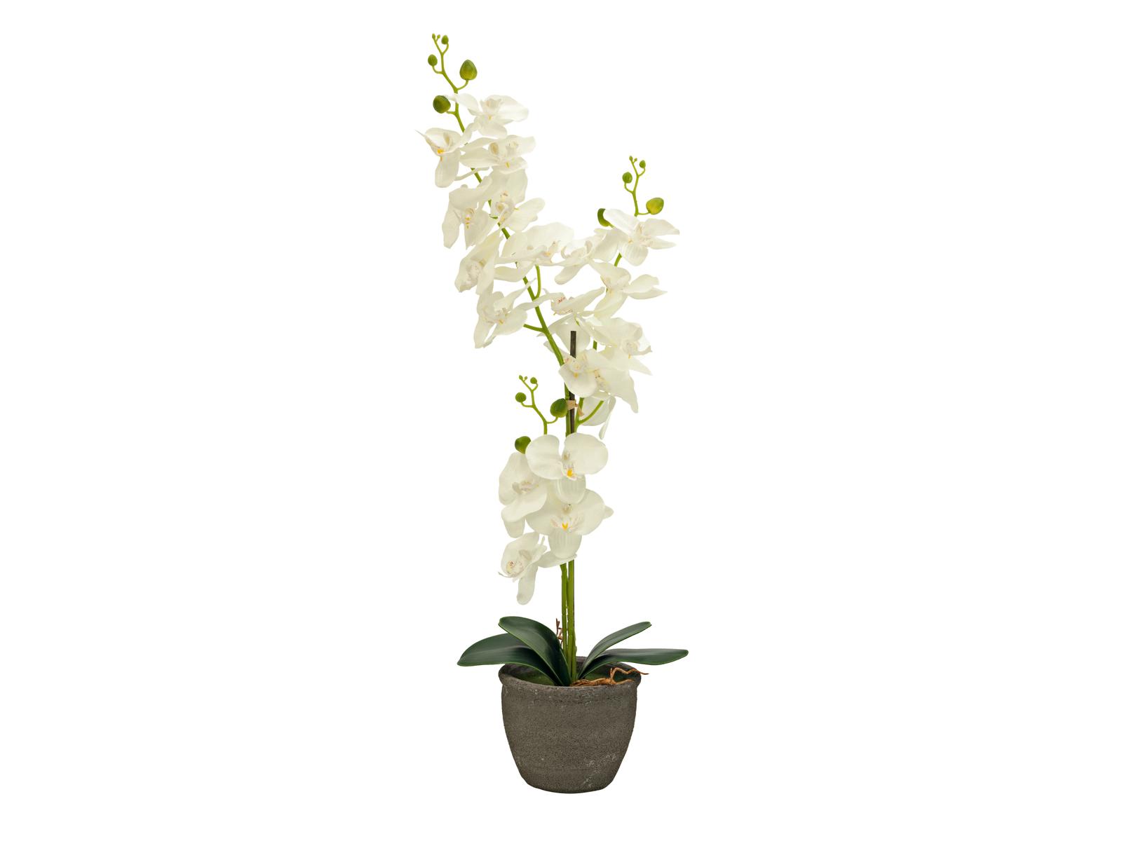 Orchidej se smetanovými květy, 80 cm