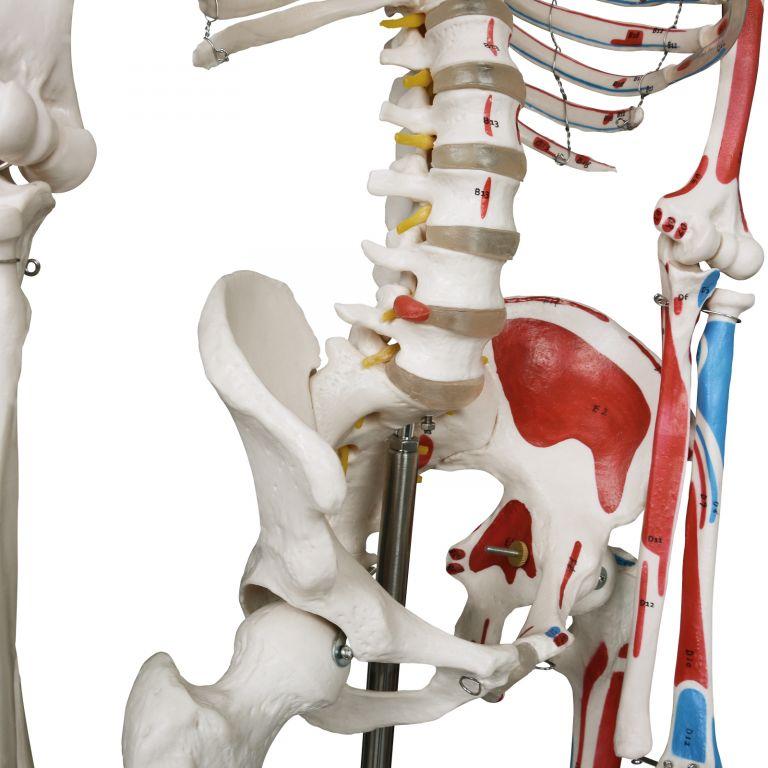 JAGO Anatomie člověka kostra s detaily malby svalů, 181 cm