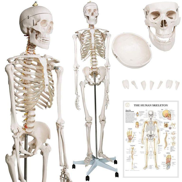 kostra-lidske-anatomie-181-5-cm