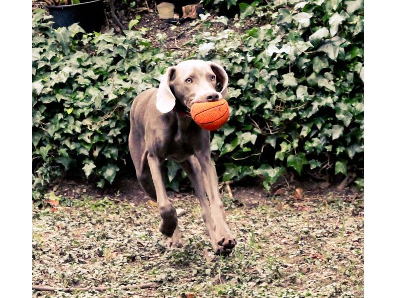 Lanco Pets - Hračka pro psy - Basketbalový míč