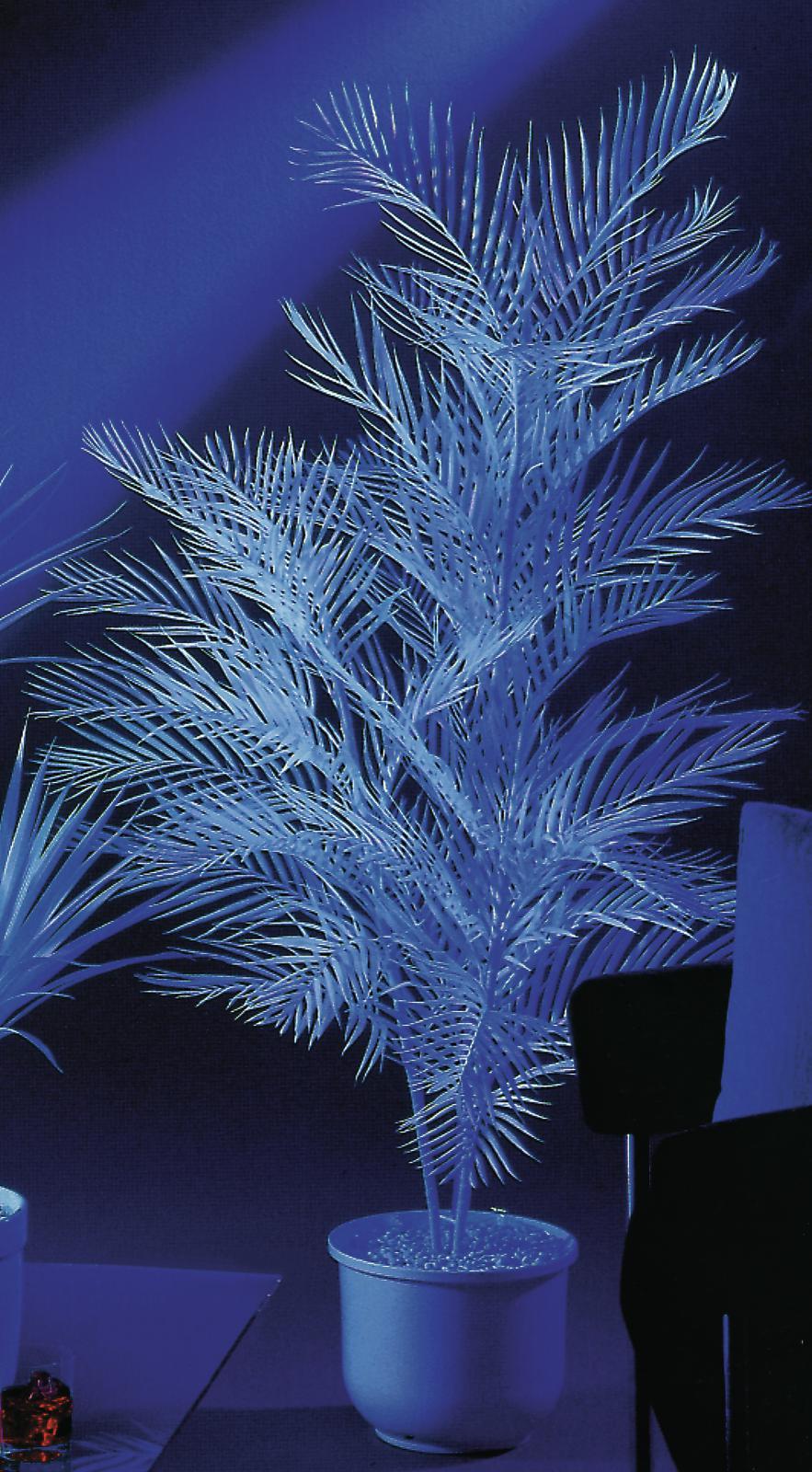 UV Kentia, 90cm