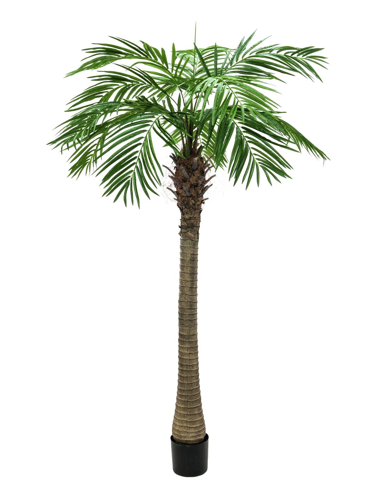 Phoenix palma Luxor, 210 cm