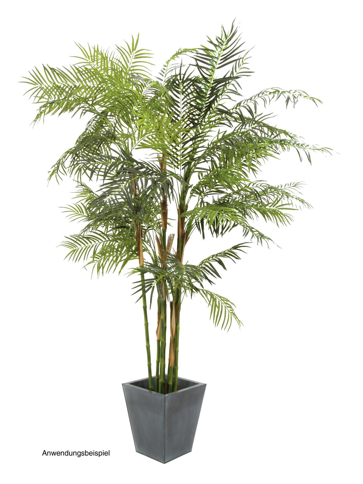 Cykasová palma, 280 cm