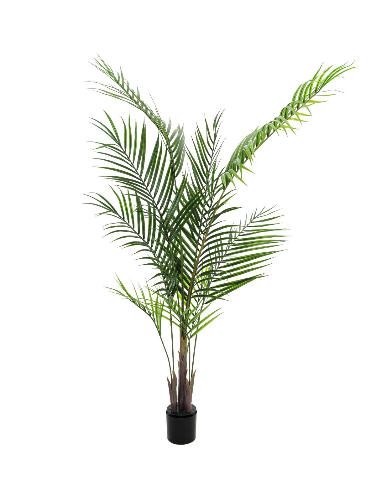 Areca palma s velkými listy, 165 cm