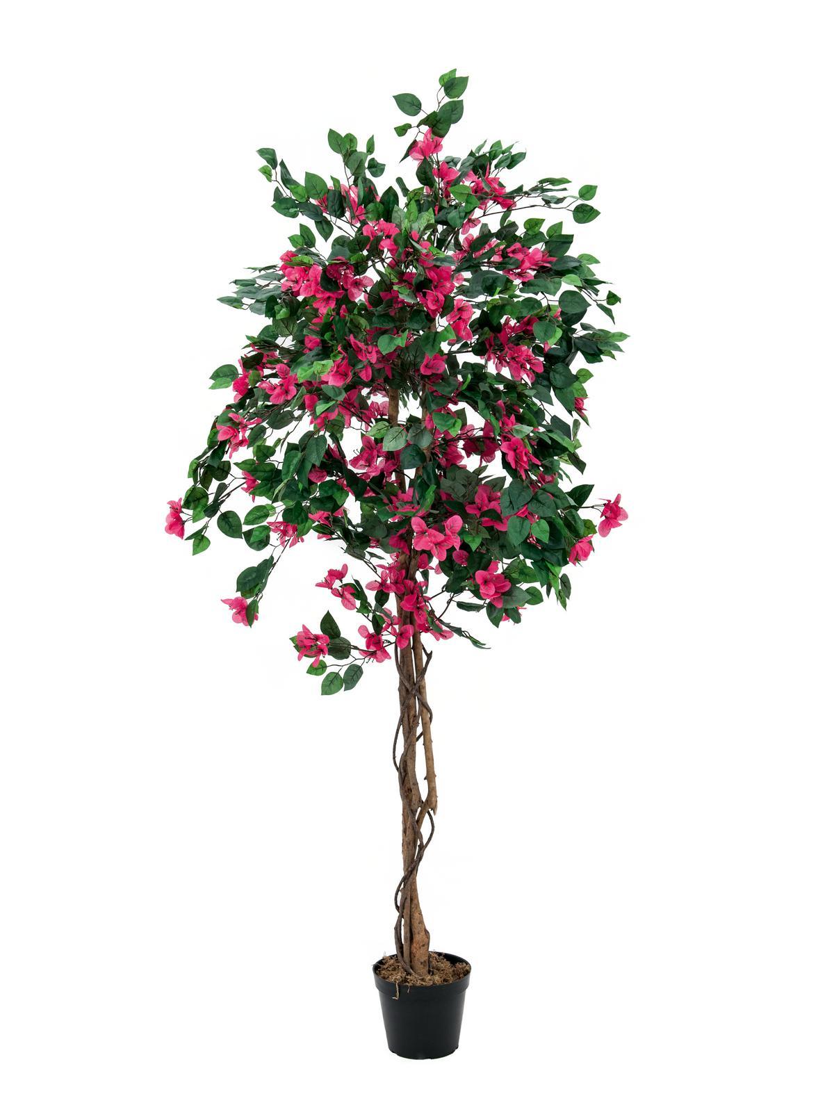 Bougainvillea červená, 180 cm
