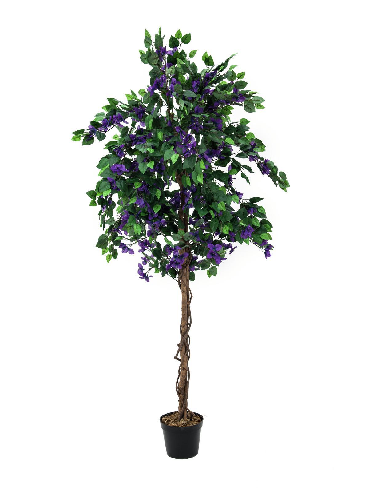 Bougainvillea fialová, 180 cm