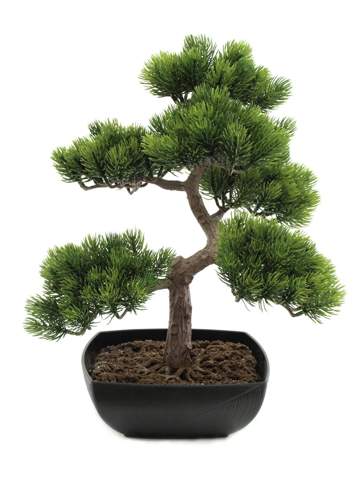 Bonsai borovice, 50 cm