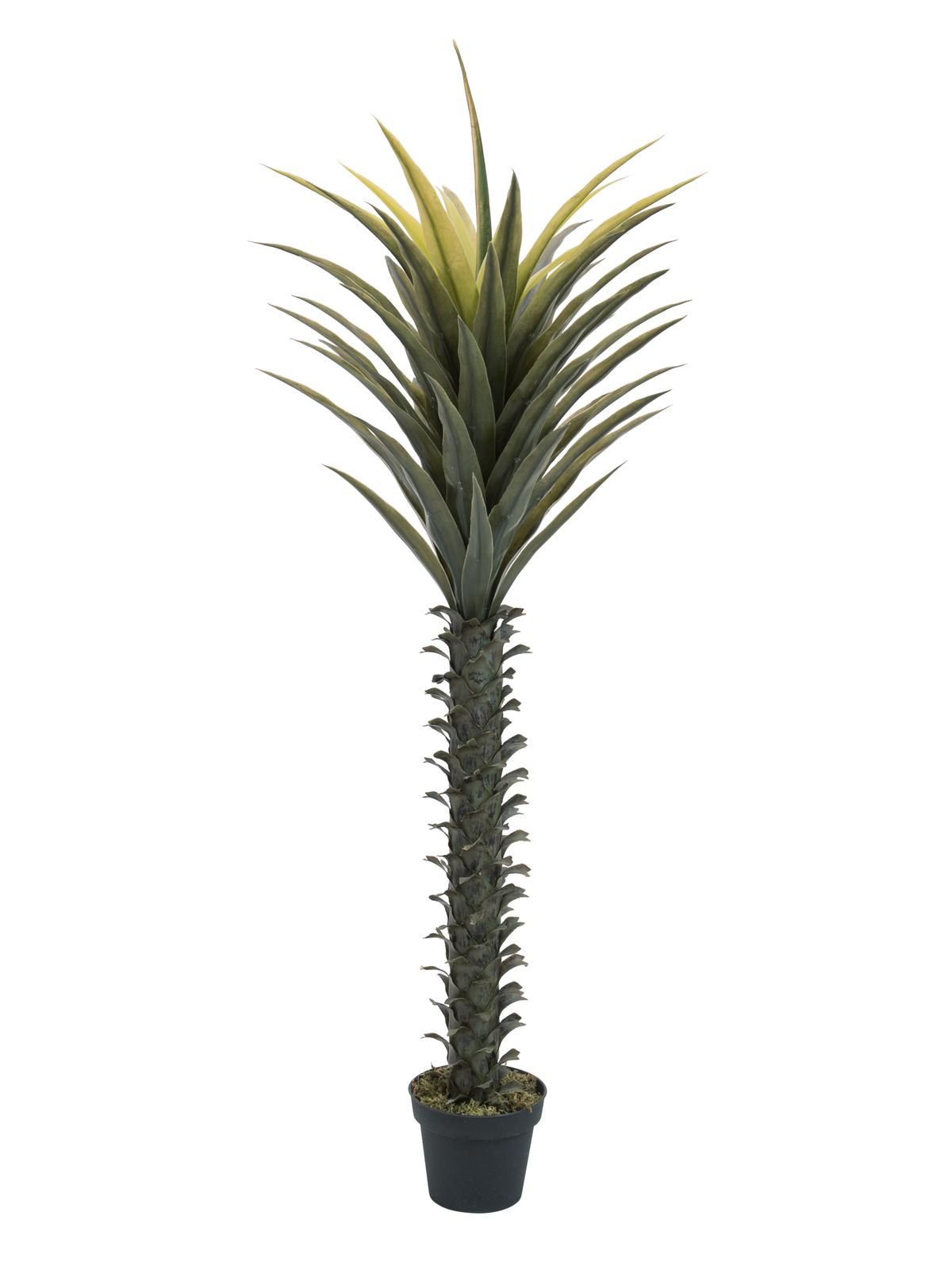 Juka palma, 165 cm
