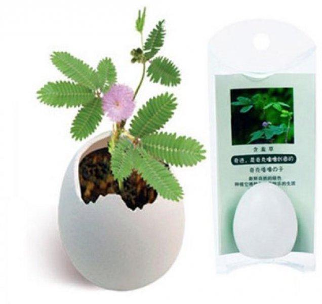 Rostlina z vajíčka-Mimosa reagující na pohyb