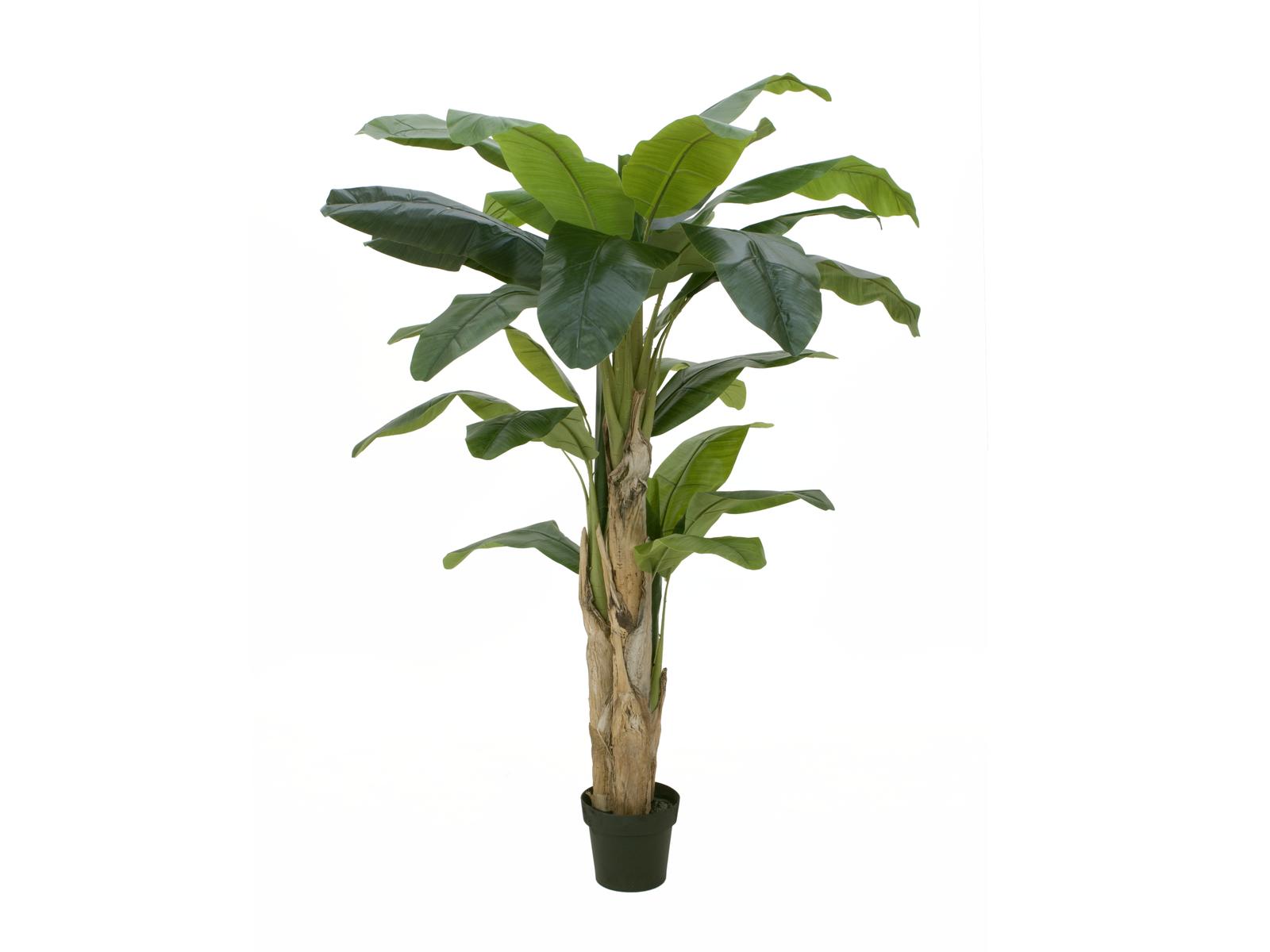 Banánovník, 170 cm