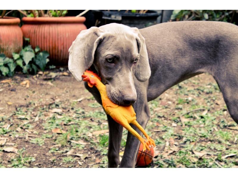 Lanco Pets - Hračka pro psy - Pískací kuře midi