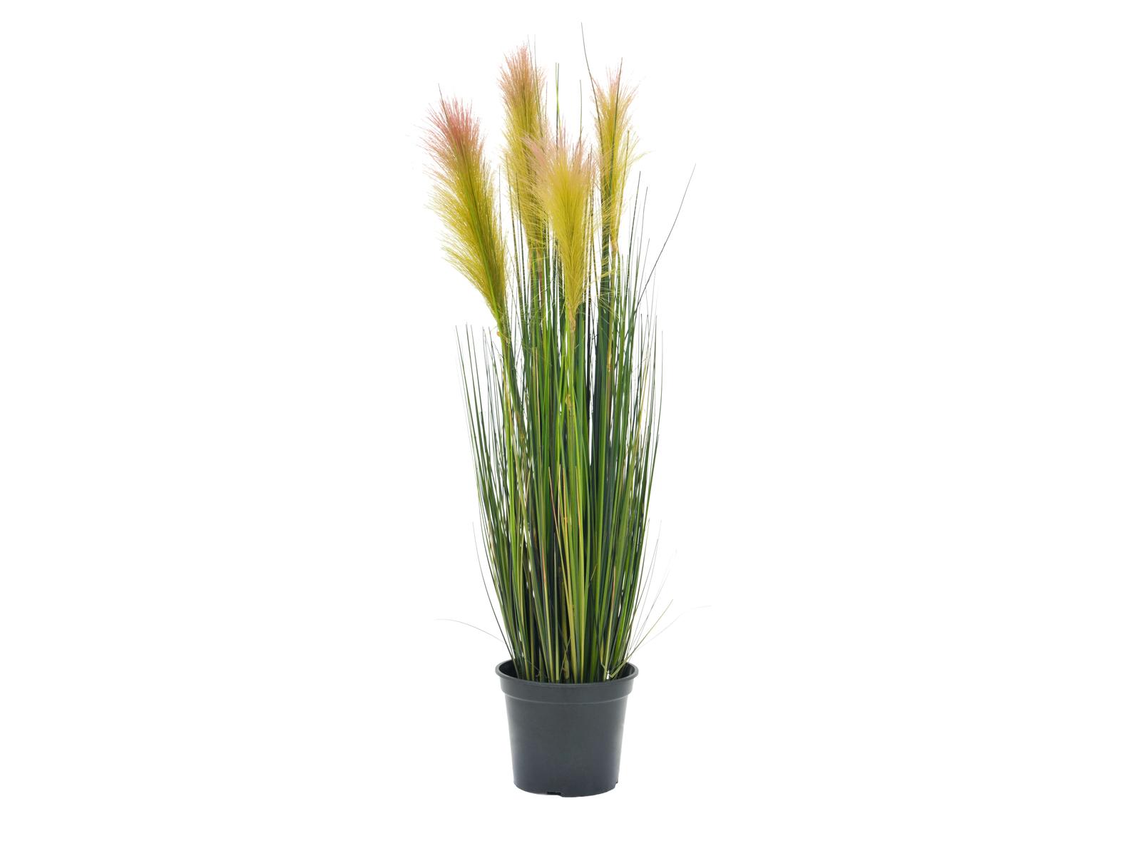 Péřová tráva, růžová, 90cm
